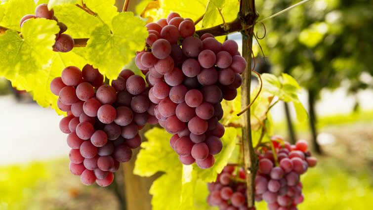 Rotwein Weinrebe