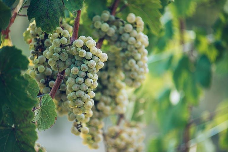Riesling Wein