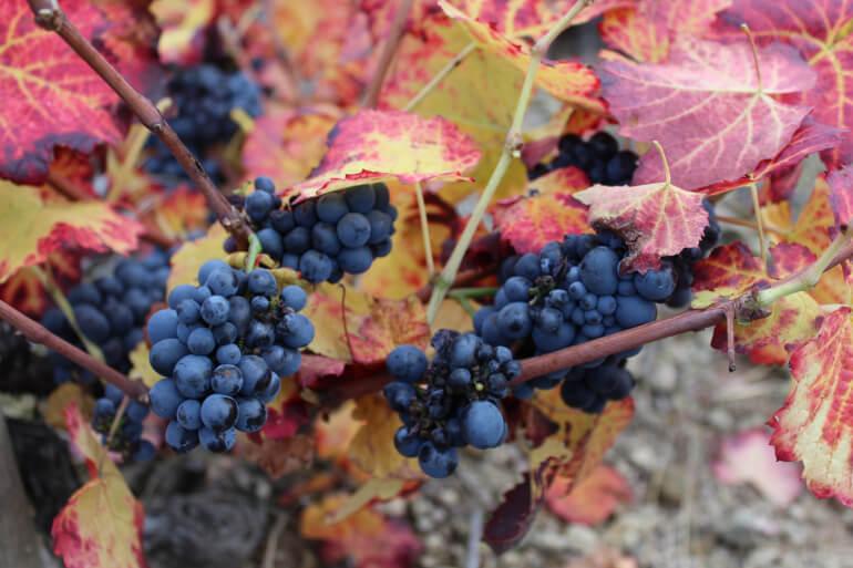 Beaujolais-Weintrauben